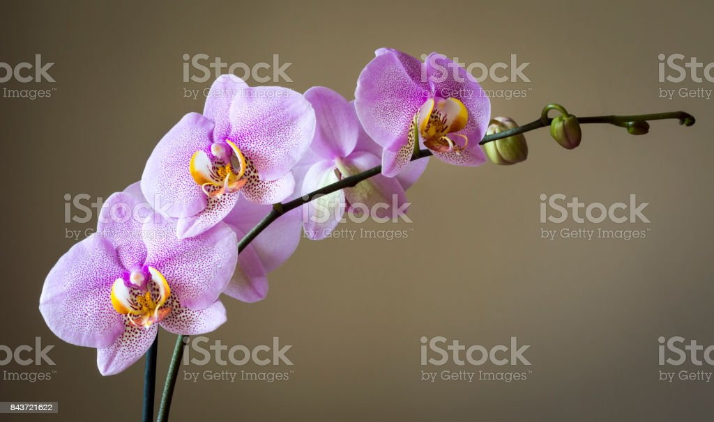 Dark pink spotted orchid stock photo