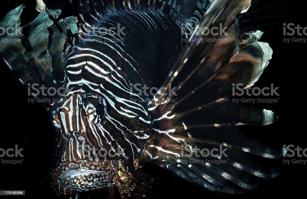 Dark poison fish royalty-free stock photo