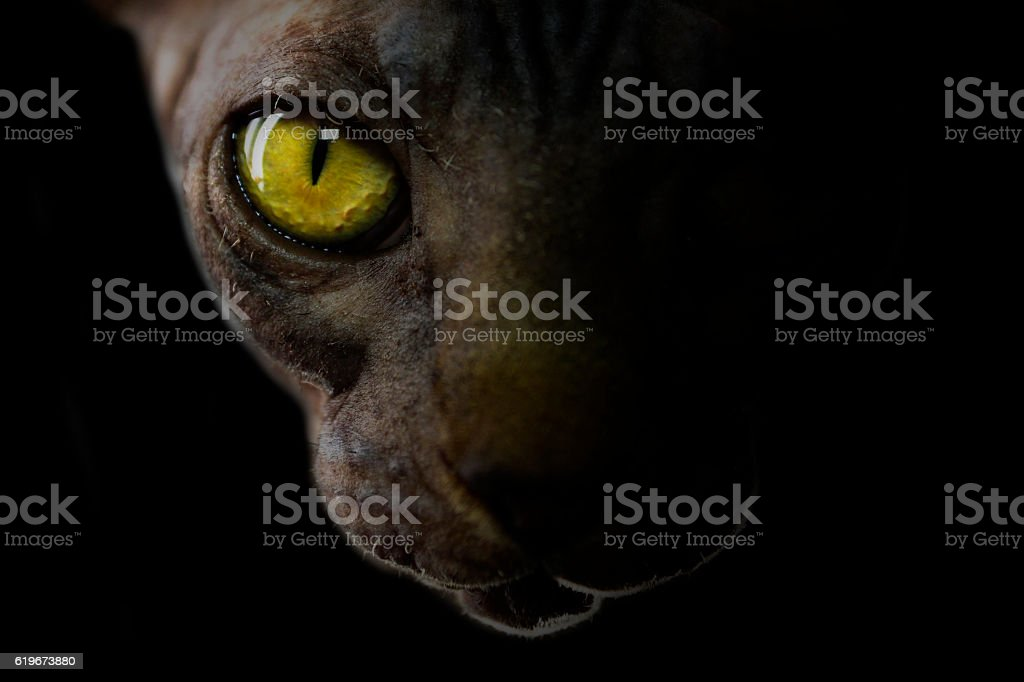 Dark portrait of sphynx cat, yellow eye stock photo