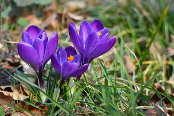 crocus pourpre foncé fleurissant des fleurs sur le fond flou d'herbe au début du printemps - crocus photos et images de collection