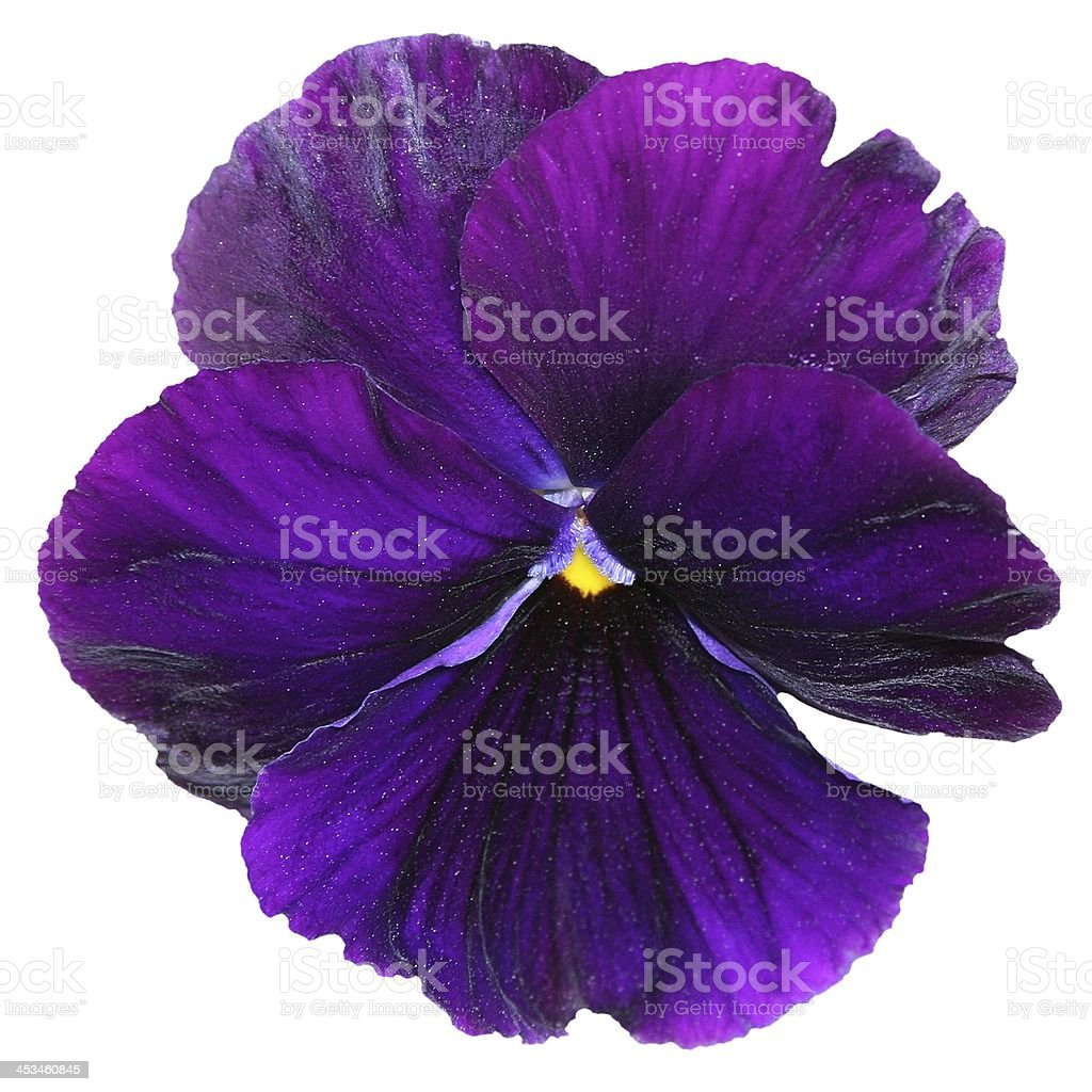 Dark Purple Pansy Flower Isolated on White stock photo