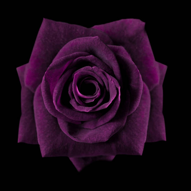 Dark purple roses background purple rose isolated on black background picture id967770578?b=1&k=6&m=967770578&s=612x612&w=0&h=bi4co5wkfceavioxahnn bfcounb2mqh8cbx wrsy0a=