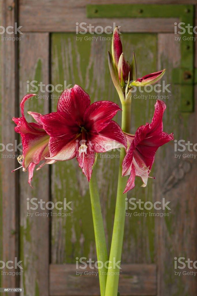 Dark red and white blossoming amaryllis. stock photo