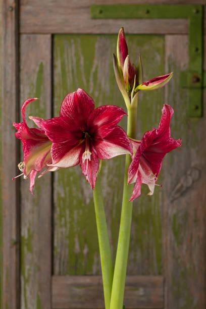 amaryllis floraison rouge et blanc foncé. - amaryllis photos et images de collection