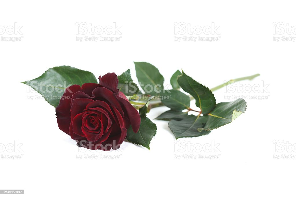 Dark red 'Black Baccara' rose isolated on white background foto royalty-free