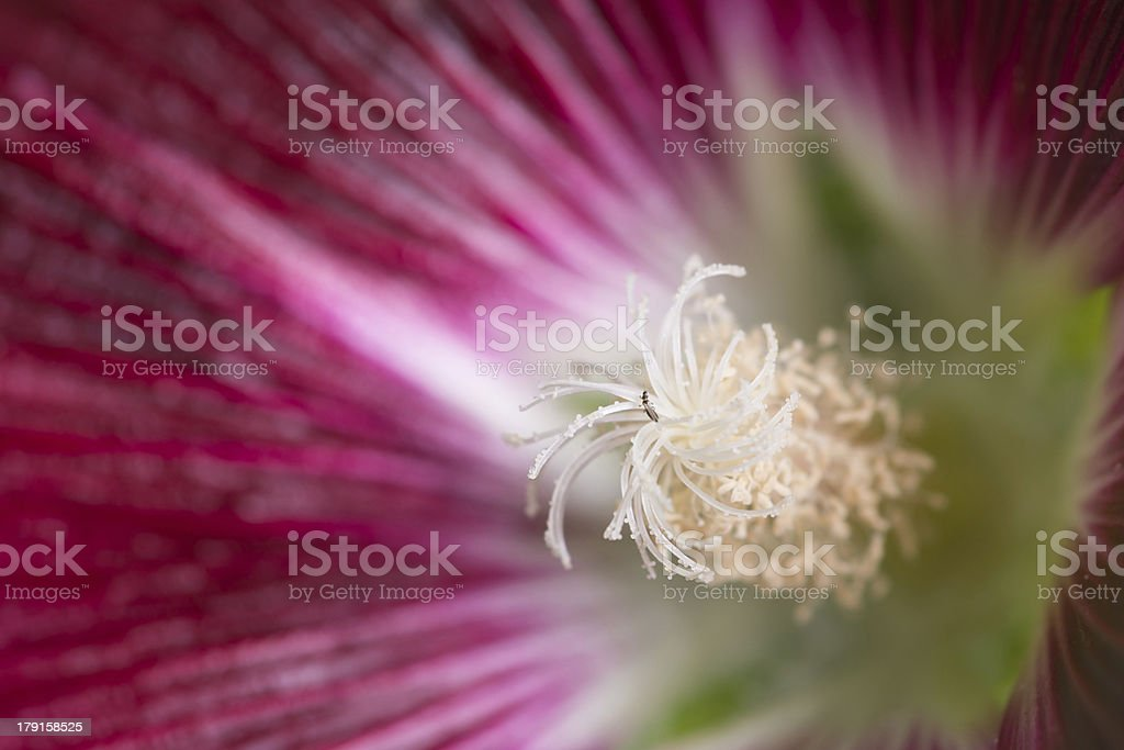 Dark red hollyhock with focus on stigma. royalty-free stock photo