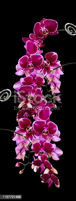 Rich branch of dark red orchid phalaenopsis flowers close-up, isolated on a black background, vertical image