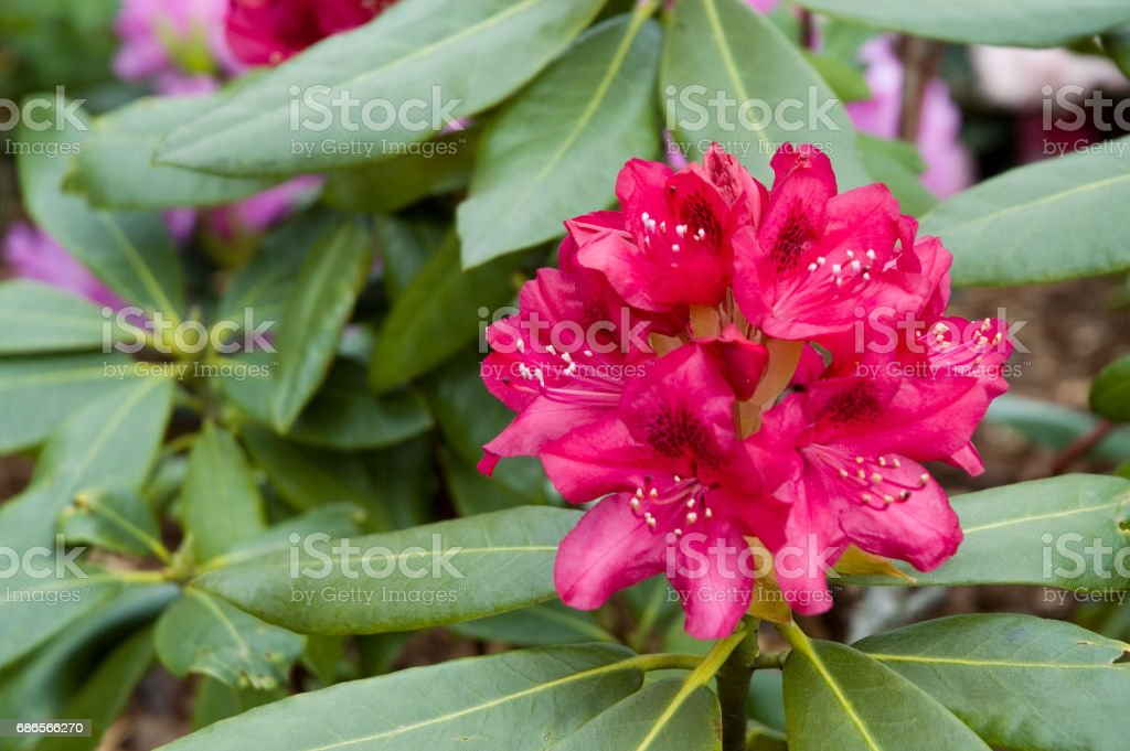 dark red rhododendron royalty-free stock photo