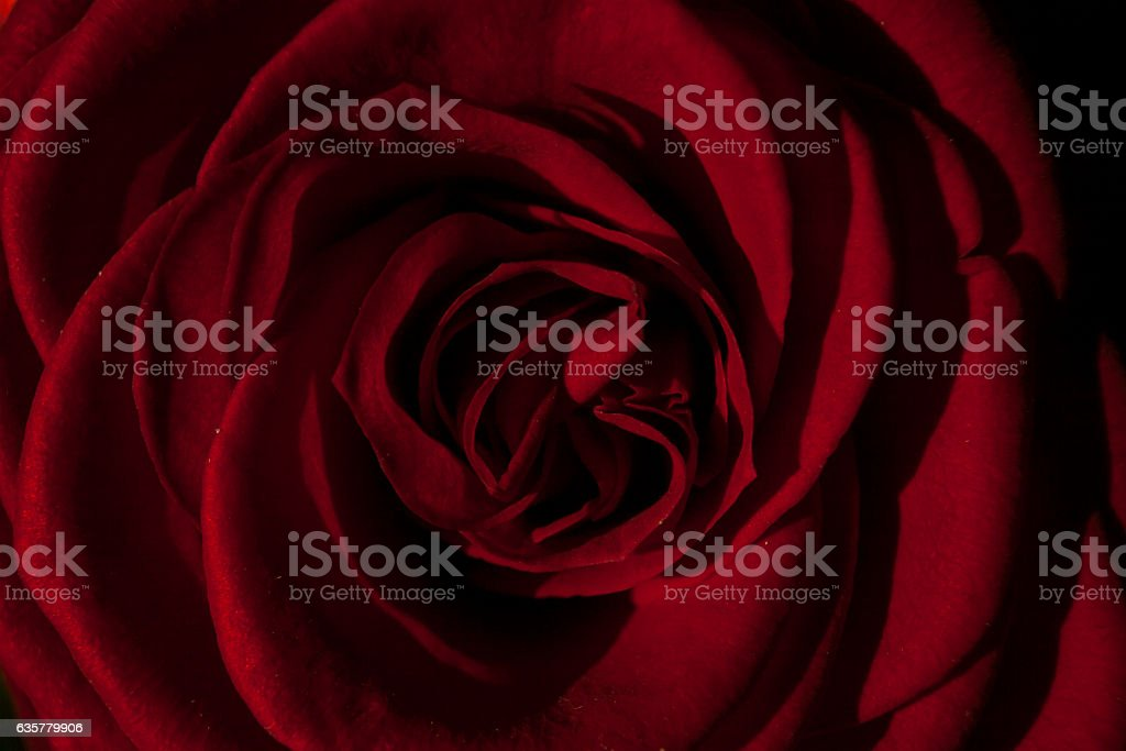 Dark red rose background. Gently mixed red and black. – zdjęcie
