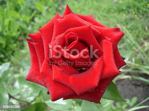 Dark red rose flower
