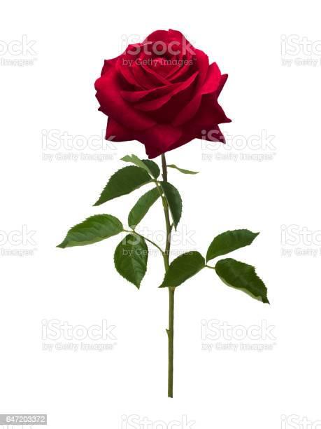Dark red rose isolated on white background picture id647203372?b=1&k=6&m=647203372&s=612x612&h=vodghl4iltsgeovtlah0issxtepm6uig2jfghryfdyu=