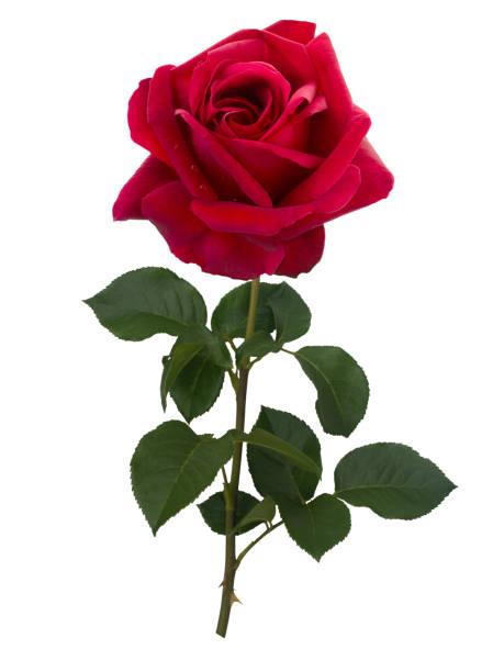 Dark red rose isolated on white background picture id653929050?b=1&k=6&m=653929050&s=612x612&w=0&h=rvo016qyzrw8dbzsloa64xxf5ssil spk32vzei6udo=