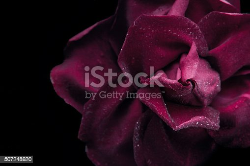 istock Dark red rose on the black background close-up 507248620