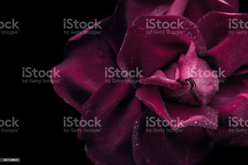 Dark red rose on the black background close-up stock photo
