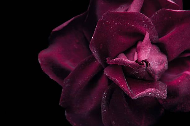 Noir Rose rouge sur le fond noir gros plan - Photo