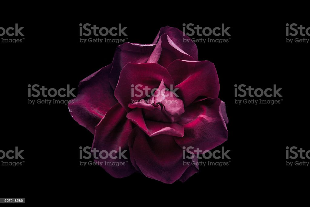 Dark red rose on the black background stock photo