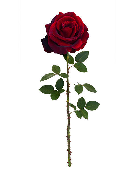 dark red  rose - sharp stock photos and pictures