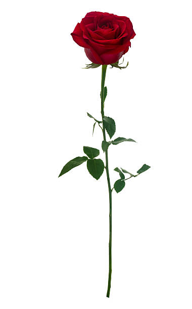 Dark red rose picture id507029220?b=1&k=6&m=507029220&s=612x612&w=0&h=uwahpk ohhqh fedlb97kfweuo12odvie 1vguu9huu=