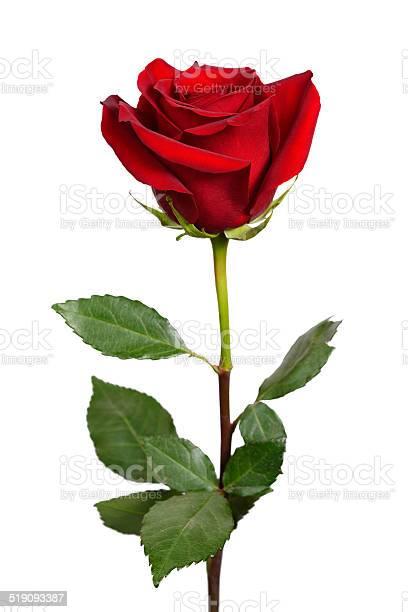 Dark red rose picture id519093387?b=1&k=6&m=519093387&s=612x612&h=xxqsimr87tpntbp0xz9nmnrjr3qqipxhgkkredcxh a=