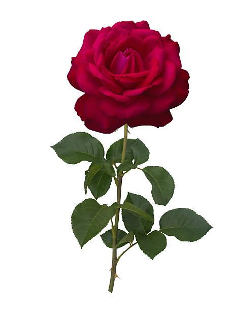 Dark red rose picture id591847330?b=1&k=6&m=591847330&s=612x612&w=0&h=gmy6n8wsumy1kjvn msuiaat6wp hsx0nj8qqyieawy=