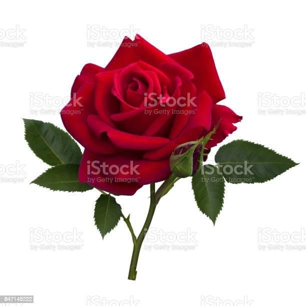 Dark red rose picture id847145222?b=1&k=6&m=847145222&s=612x612&h=gd7rzpcdpjzcnxk4 g7spapulslrsnyclbi9lri j34=