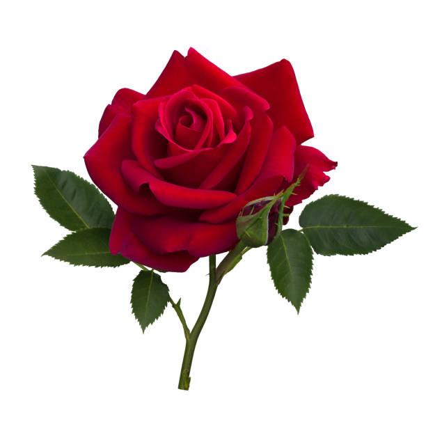 Dark red rose picture id847145222?b=1&k=6&m=847145222&s=612x612&w=0&h=no6n2hnbkzhe2ejgal lg wugk6toqqvee6rqynryoi=