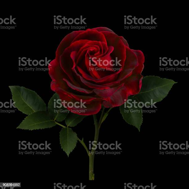 Dark red rose picture id908364552?b=1&k=6&m=908364552&s=612x612&h=6crlp7zjefkw16onhrf 2cpzbptl8zfszgvv jkqynw=
