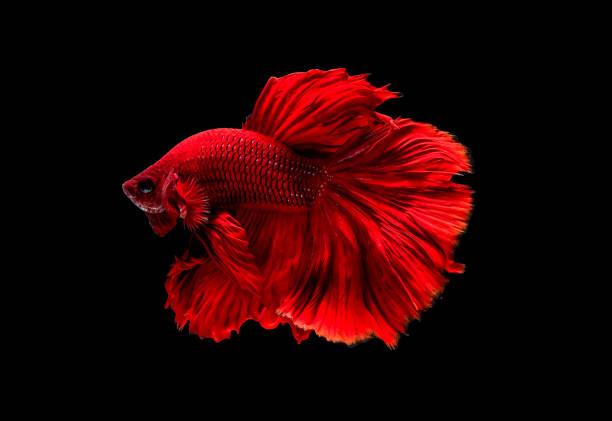 Dark red siamese fighting fish betta fish was isolated on black fish picture id1167481432?b=1&k=6&m=1167481432&s=612x612&w=0&h=aa9qvgq7sm bo5wsrq43q273pj5ogciy awgpsfnsis=