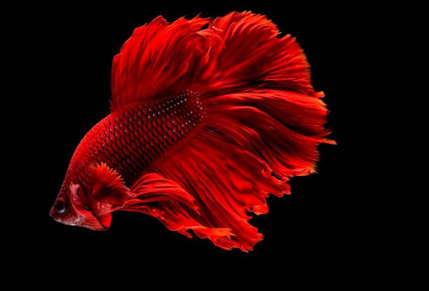 Dark red siamese fighting fish betta fish was isolated on black fish picture id1167481446?b=1&k=6&m=1167481446&s=612x612&w=0&h=xncoduxu6x37vyeeiturr2bctagqdkdn9d6l6fltimw=