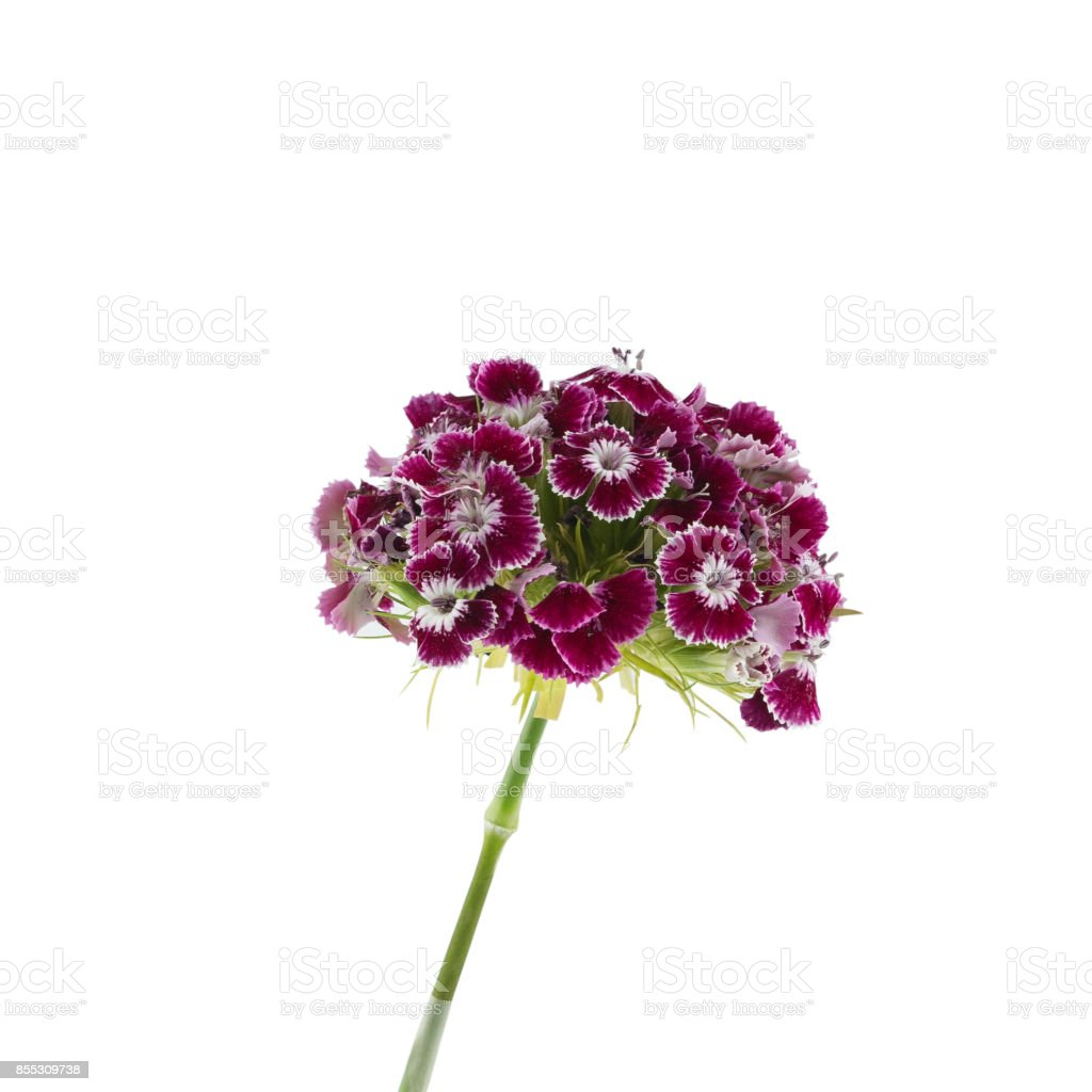 Dark red sweet william flowers isolated on white background stock dark red sweet william flowers isolated on white background royalty free stock photo mightylinksfo
