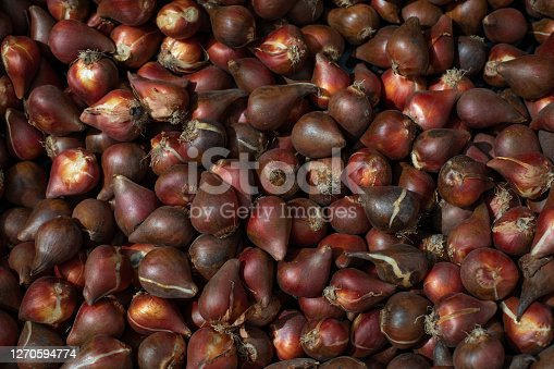 Dark red tulip bulbs of dark varieties. Breeding Dutch tulips in the garden. Burgundy wine-colored flower bulb ready to plant