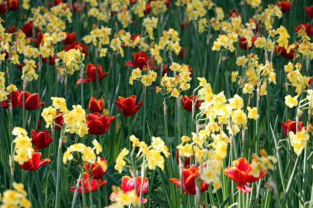 Dunkle rote Tulpen (Tulipa spp.) mit gelbem Rand in Blume Bett mit gelben Narcisus Blumen – Foto