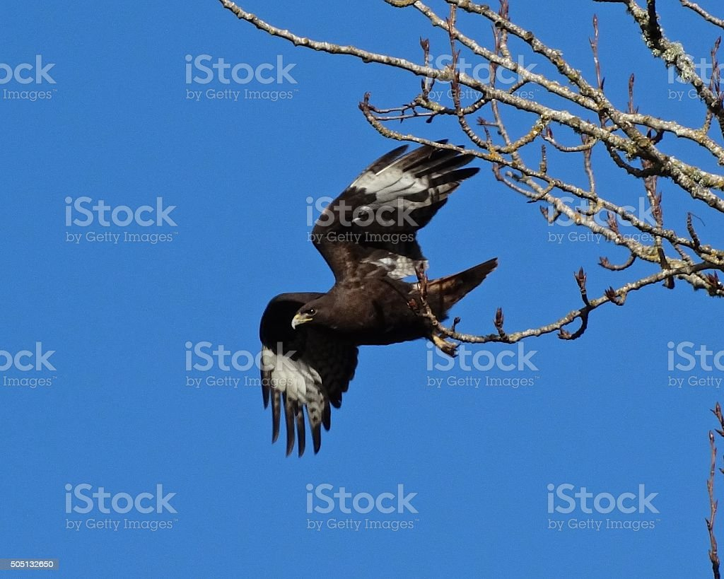 Dark Redhawk Wings stock photo