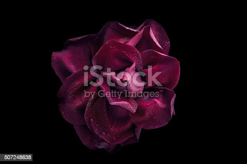 istock Dark rose with water drop on black background top view 507248638