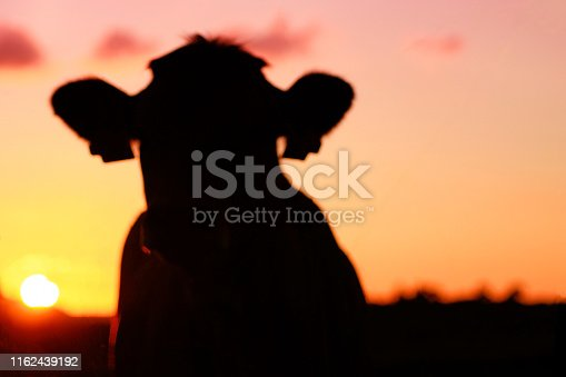 Silhouette of cow in sun set time. Blurred background. Copy space