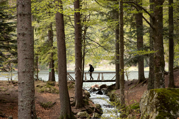 Dark silhouette of man walking through the wooden bridge in the forest. Mountain lake and stream. Hiking in forest. Natur park hiking trail. Black forest. Schwarzwald, Germany. Wild wood in the mountains. Beautiful view inside of pine forest. Tree trunks, one person. Schwarzwald, Germany. Black Forest. black forest stock pictures, royalty-free photos & images