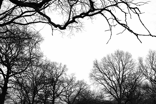 Dark silhouette of naked trees in black and white