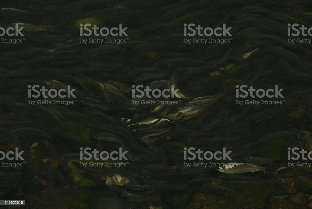 Dark Silvery Shimmer of Menhaden stock photo