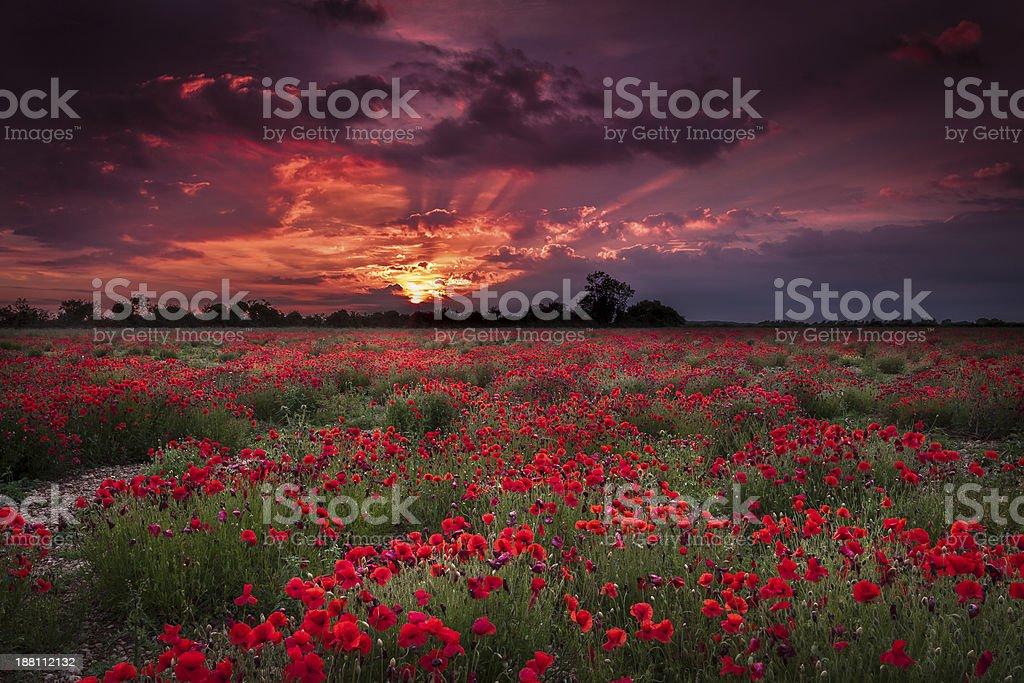 Dark skies and poppy fields stock photo