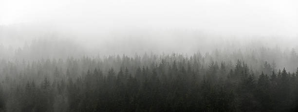 Dark Spruce Wood Silhouette Surrounded by Fog. stock photo