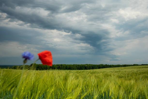dunkle Gewitterwolken ziehen über grüne Felder und rote Mohnsamen im Vordergrund hinweg – Foto