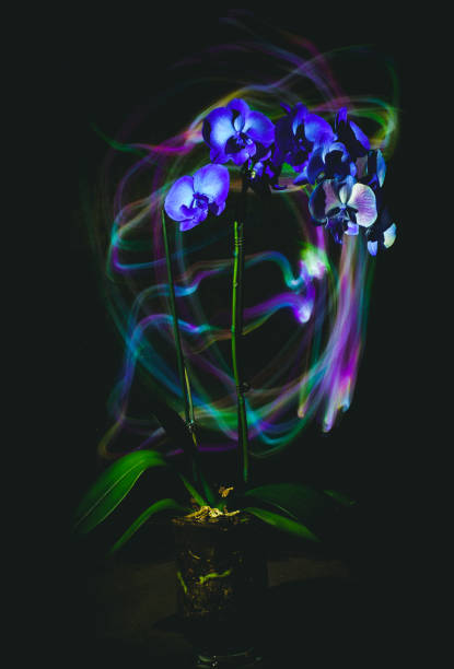 Dark studio photo, orchid beautifully lit with lines of light, long exposure.