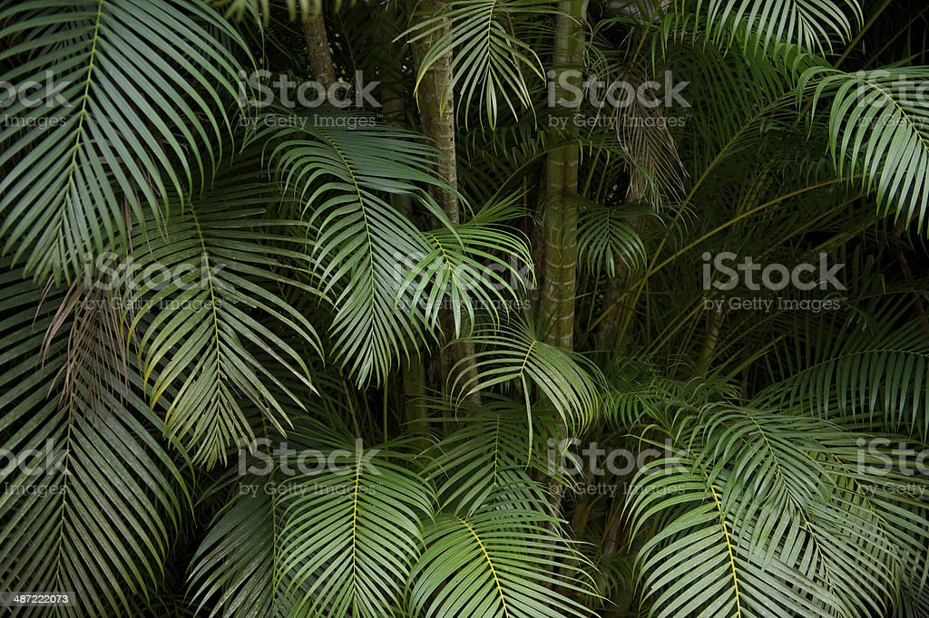 Dark Tropical Jungle Palm Frond Background stock photo