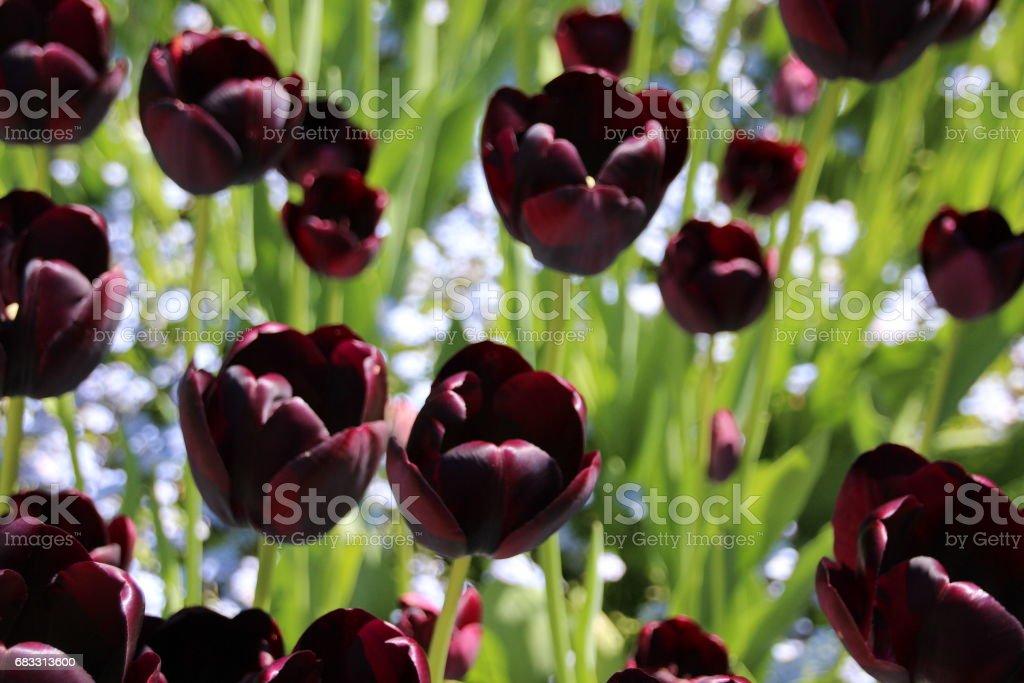 Flores de tulipán oscuros foto de stock libre de derechos