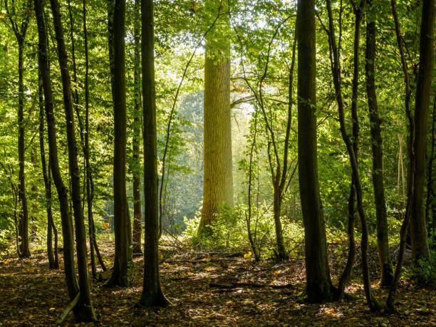 Sous-bois sombres à l'orée de la forêt avec un rétro-éclairage ensoleillée lumineux mettant en valeur le majestueux tronc d'un chêne - Photo
