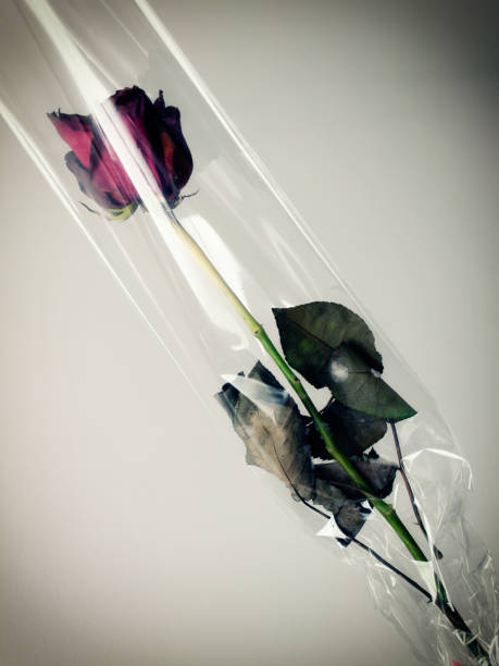 Dark Valentine Rose stock photo