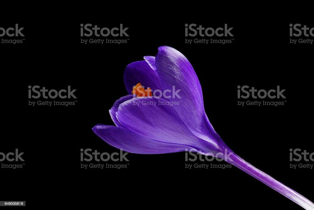 Dunkel violett blauen Krokus - Crocus Vernus - auf schwarzem Hintergrund – Foto