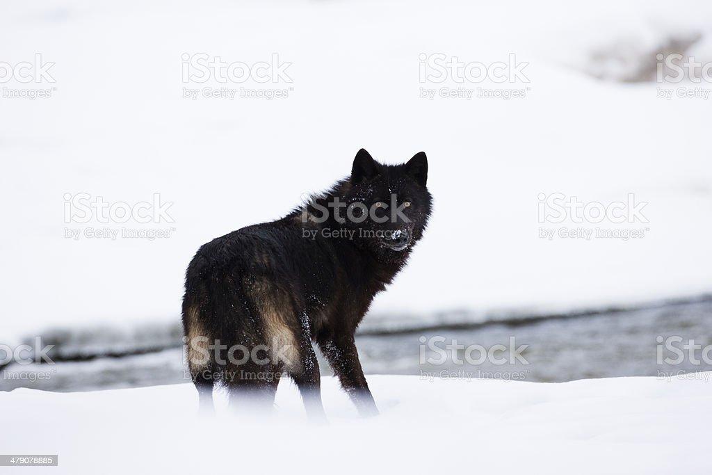Lobo escuro. - Royalty-free Animais caçando Foto de stock