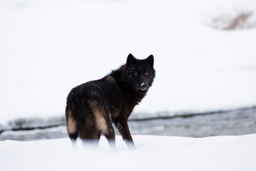 istock Dark wolf. 479078885