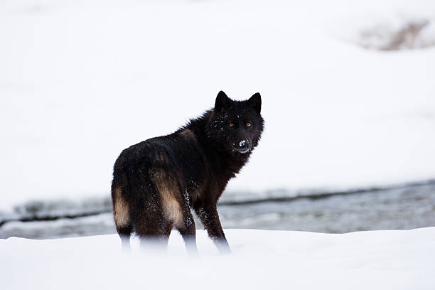 lobo escuro. - lobo cinzento imagens e fotografias de stock